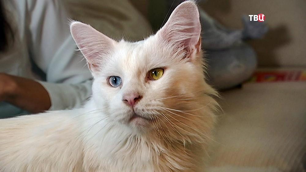 Кошка с разноцветными глазами