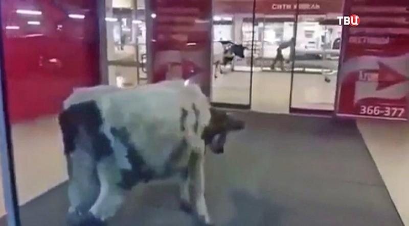 Коровы в торговом центре Сургута