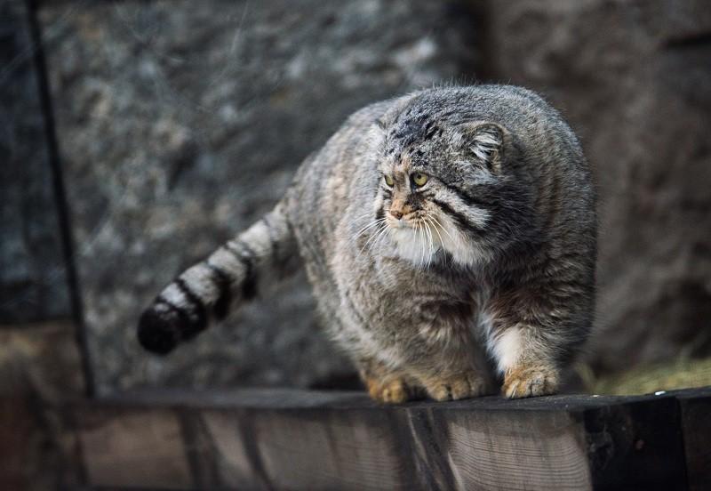 Манул в вольере Московского зоопарка