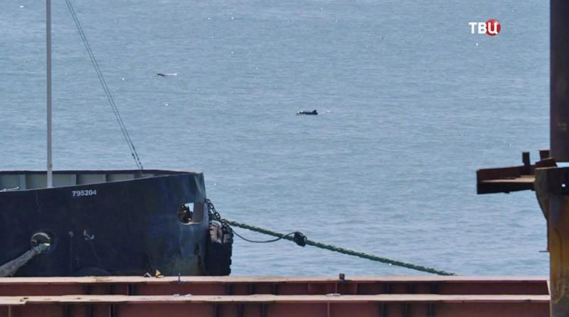 Дельфины у Крымского моста