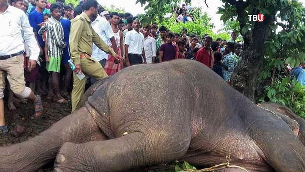 Убитый слон