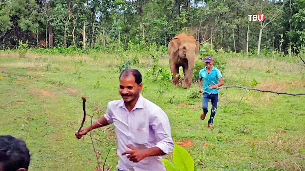 Слон нападает на людей