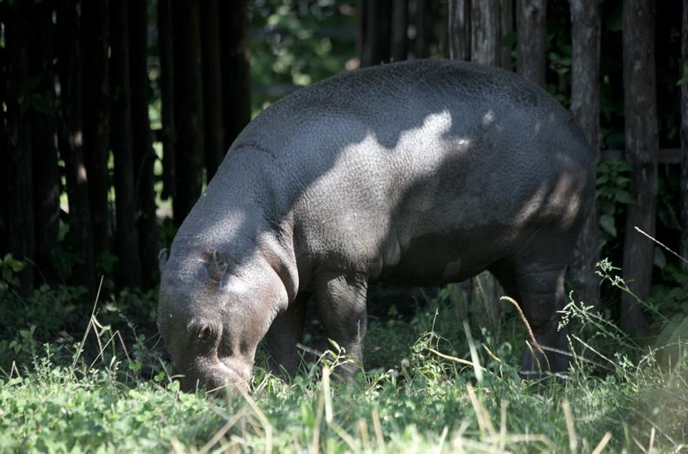 Карликовый бегемот в Московском зоопарке