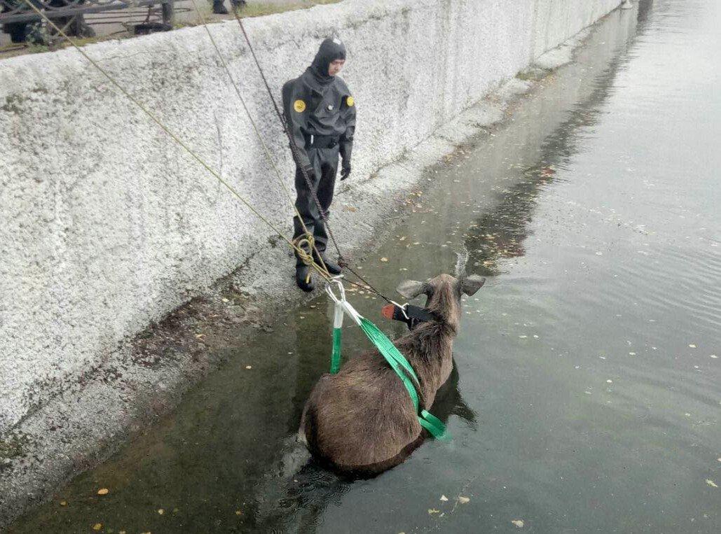 Операция по спасению тонущего в пруду лося