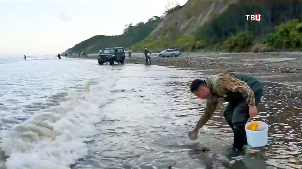 Сбор морского гребешка на берегу
