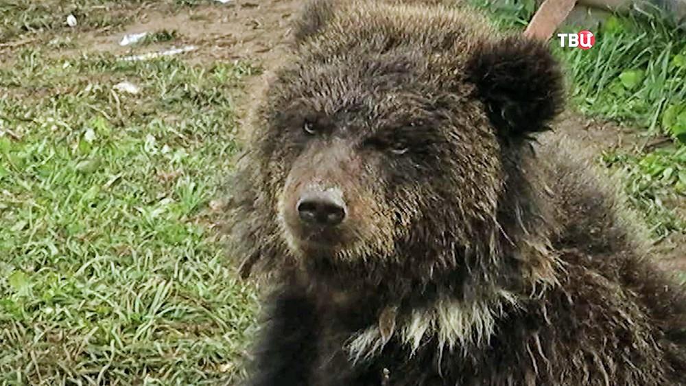 Медведь на привязи