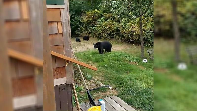 Чёрные медведи
