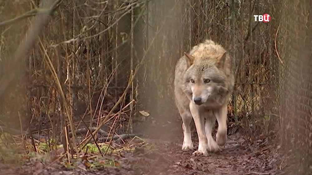 Волк в вольере