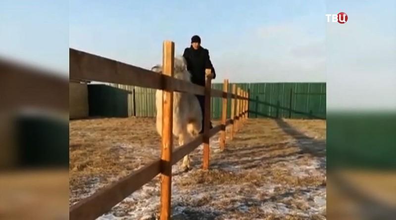 Агрессивный посетитель сидит верхом на верблюде