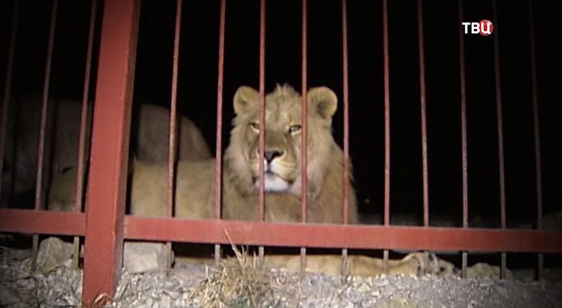 Пострадавший лев