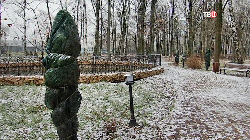 Укутанные на зиму туи в парке