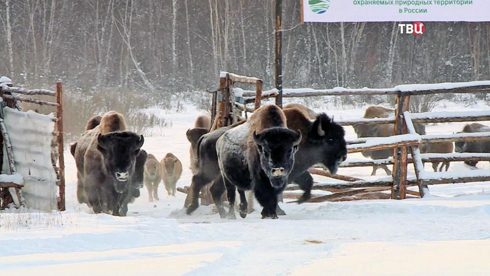 Стадо бизонов выпускают на волю