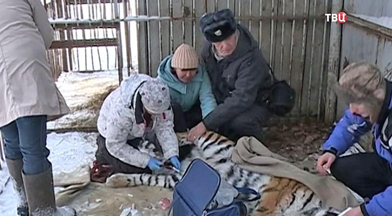 Ветеринары осматривают тигра