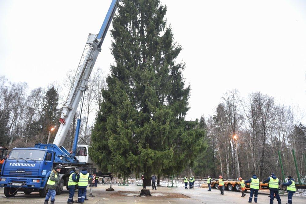 Рубка главной новогодней елки страны на территории Подольского лесничества