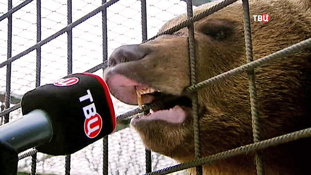 Медведь ревет в микрофон