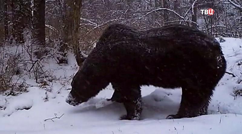 Приморский медведь