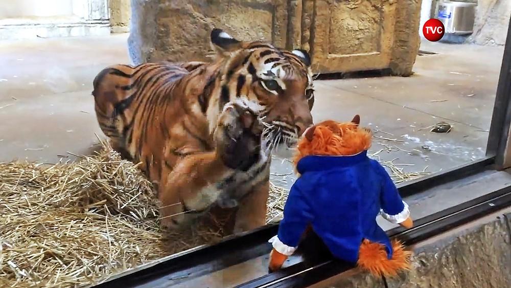 Тигр пытается забрать игрушку в зоопарке в США
