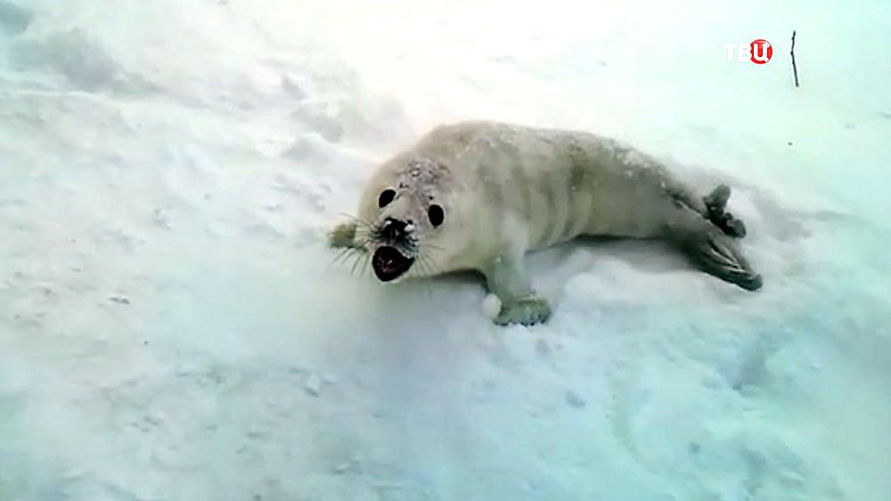 Спасенный тюлененок