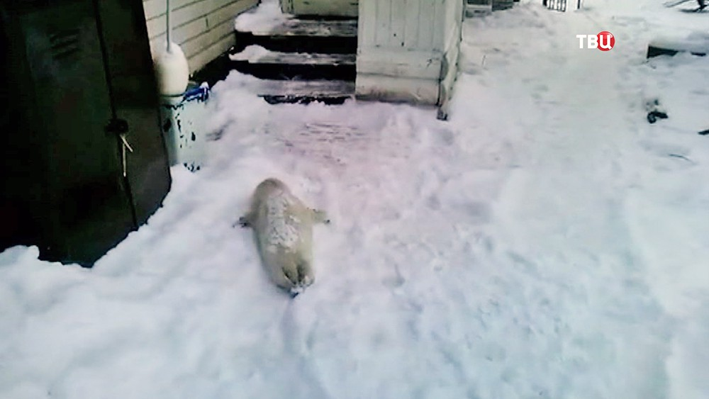 Тюлененок приполз к людям