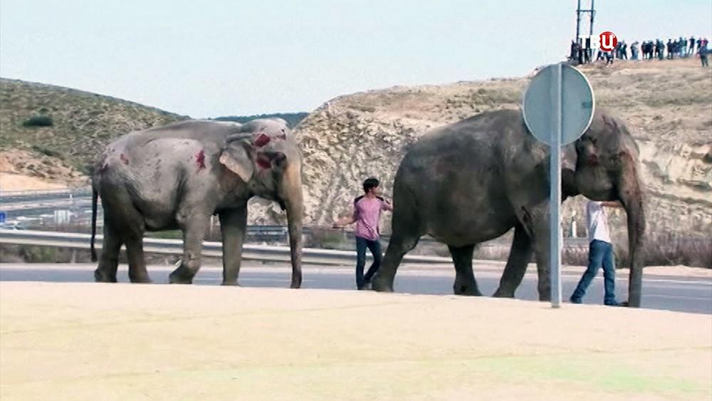 Пострадавшие в ДТП слоны
