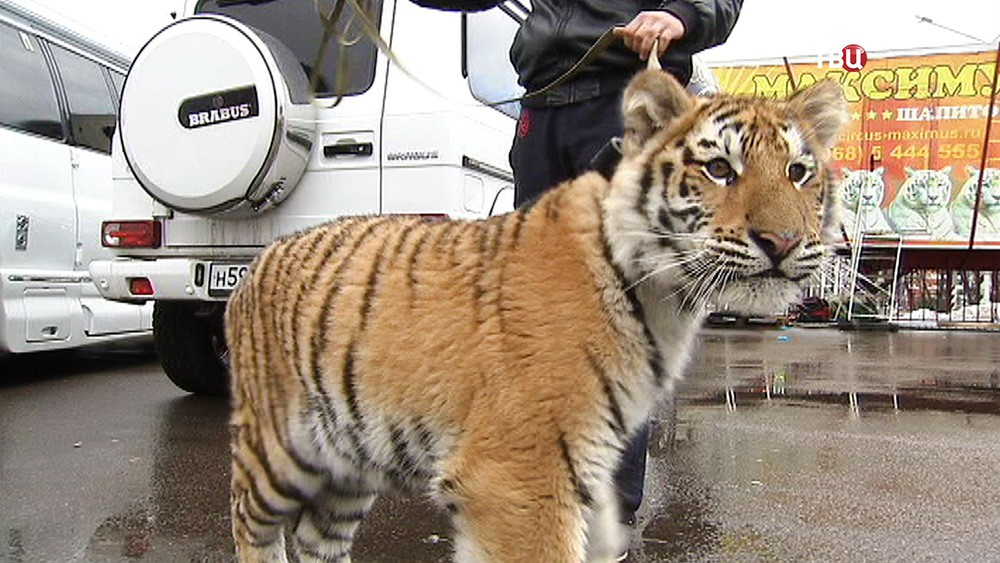Выгуливание тигров