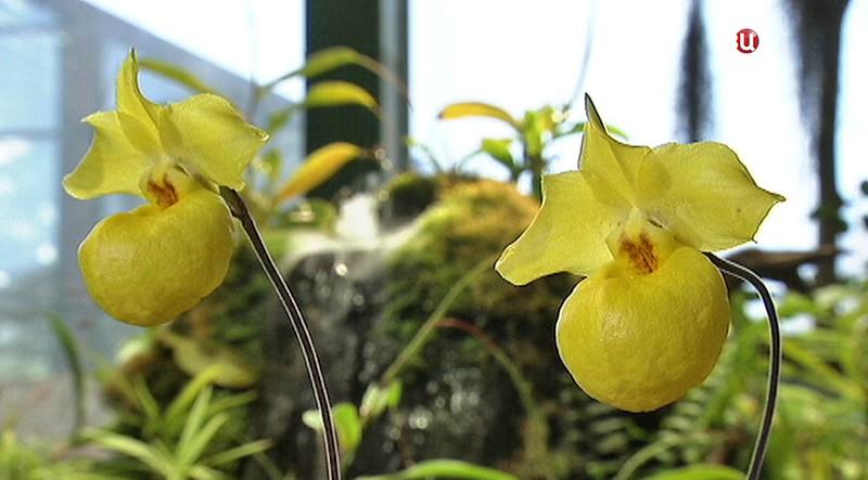 Абрикосовая орхидея