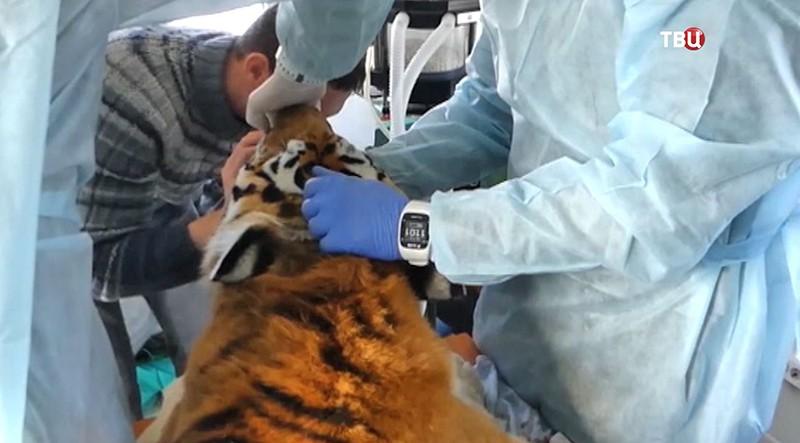 Операция по спасению Амурского тигра