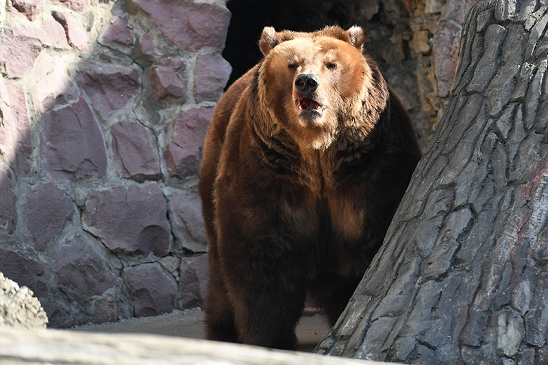 Бурый медведь, проснувшийся после зимней спячки, в Московском зоопарке