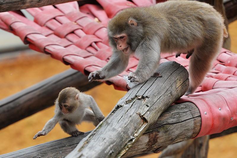 Японские макаки (Macaca fuscata) в Московском зоопарке