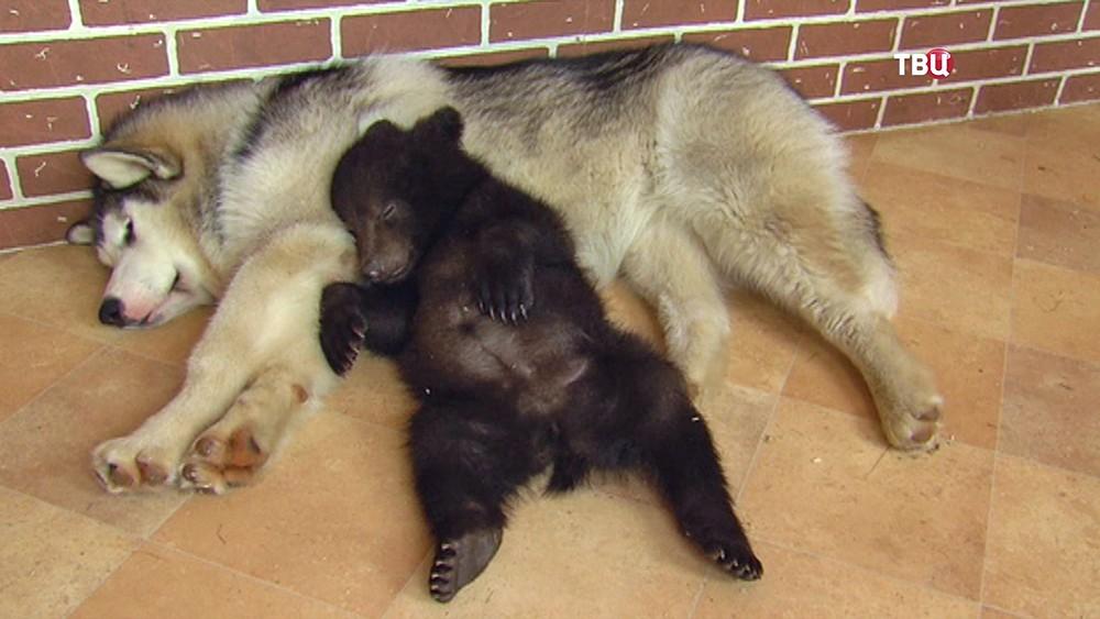 Медвежонок и собака спят в вольере