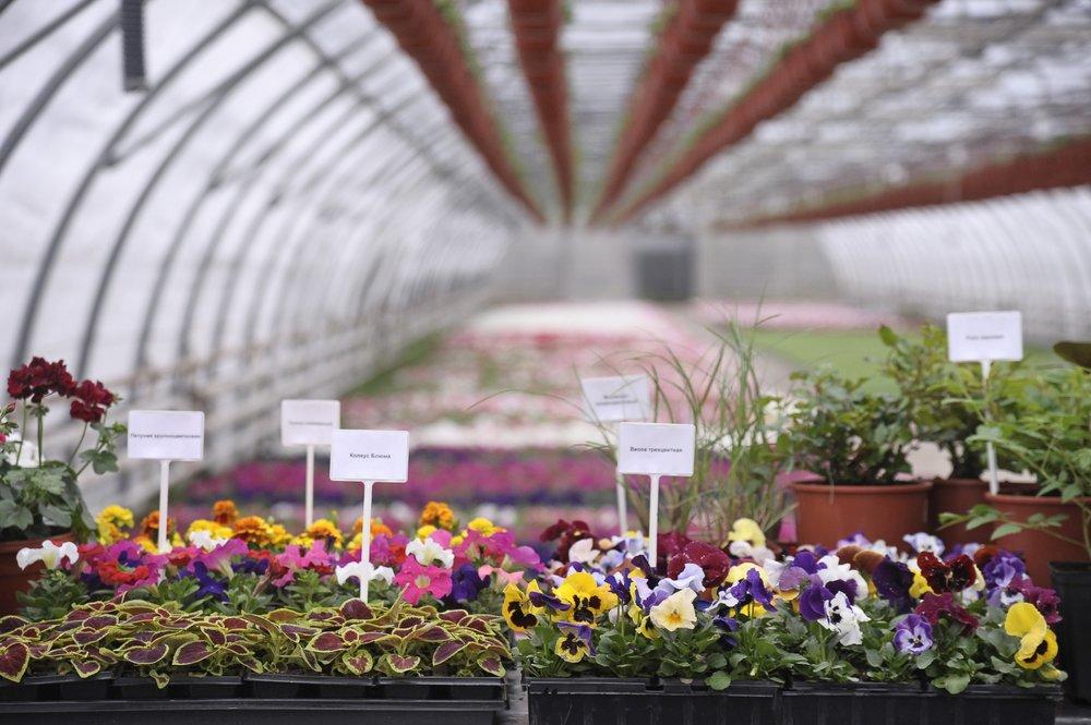 Выращивание цветов для московских улиц в питомнике