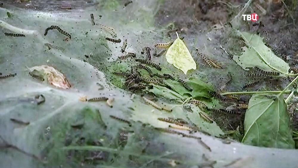 Нашествие гусениц