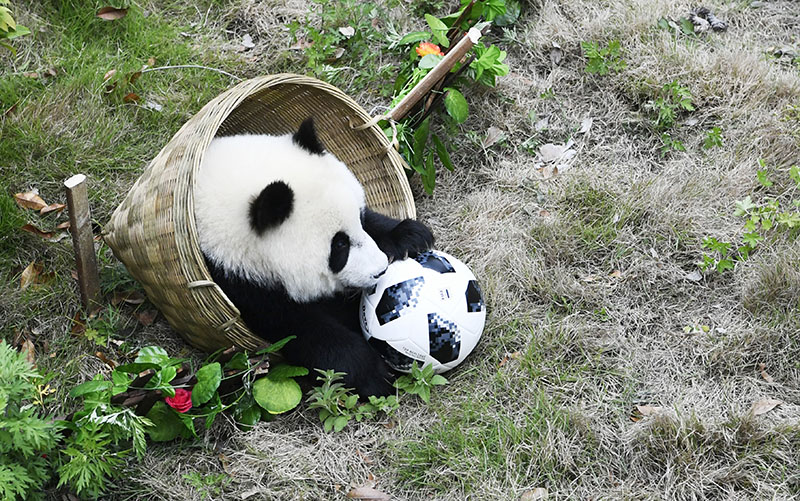 Панды играют в футбол