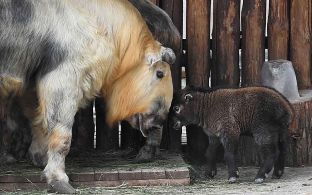 Детеныш такина с мамой