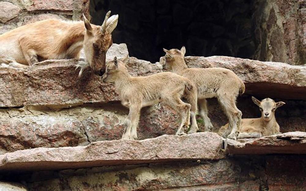 Группа мархуров с детенышами