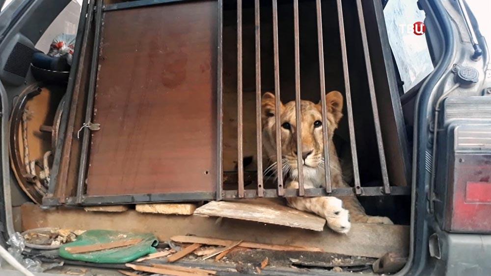 Львица в клетке в машине