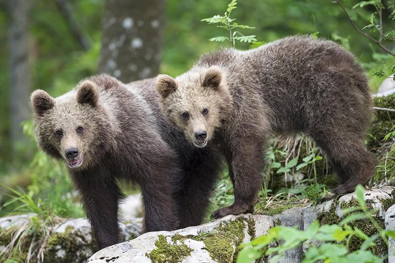 Дикие медведи