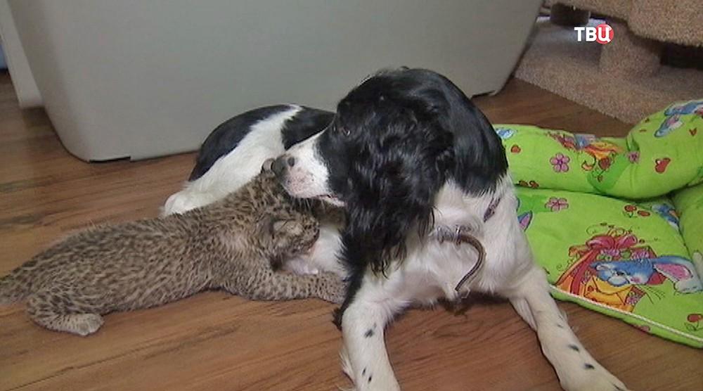 Собака кормит леопарда