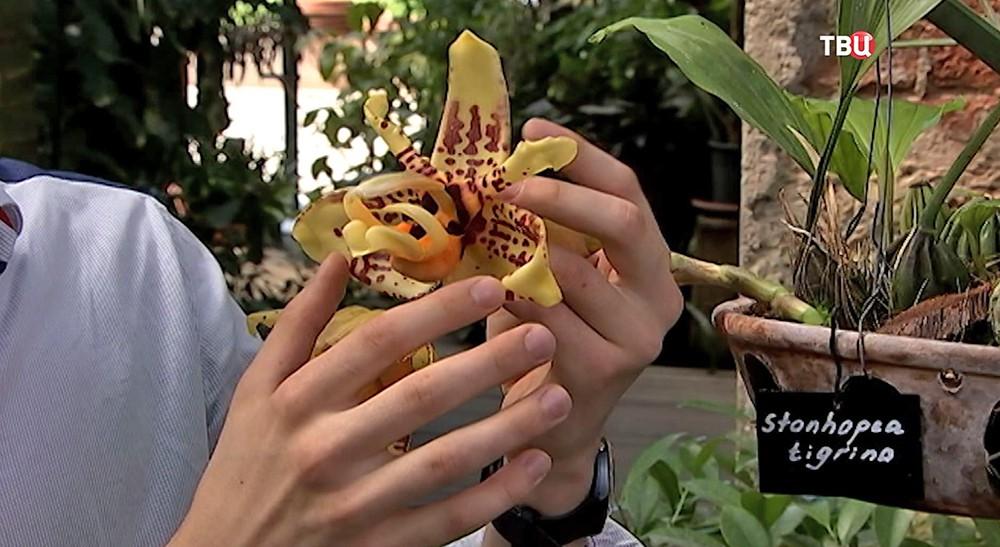 Орхидея-бык