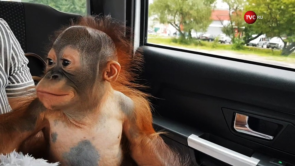 Детеныш борнейского орангутана по кличке Матику