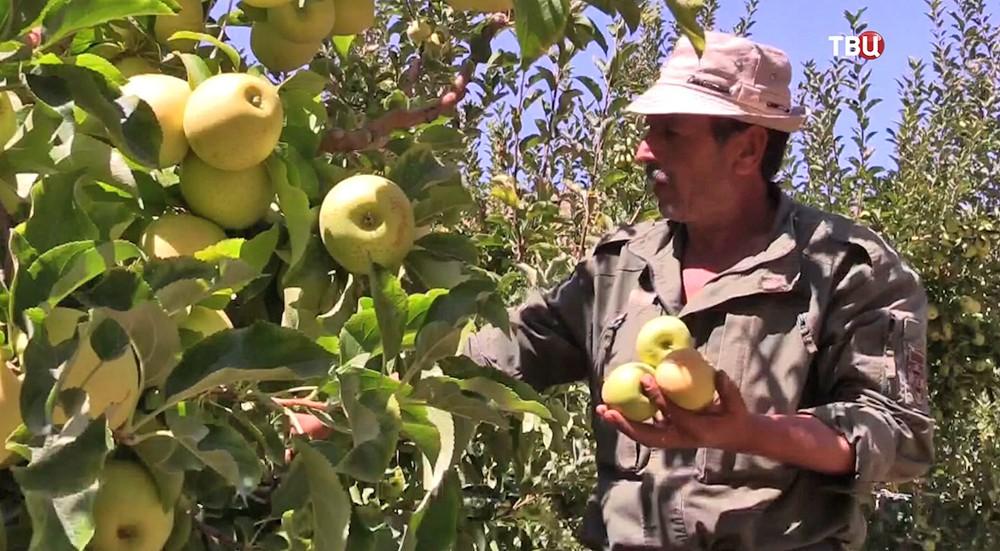 Сирийские фермеры