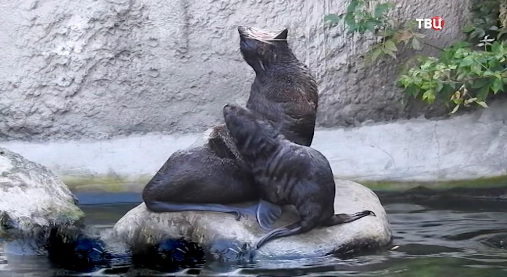 Северный морской котик в Московском зоопарке