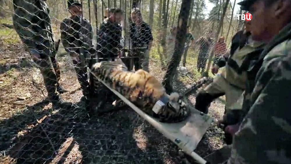Выпускают амурского тигра