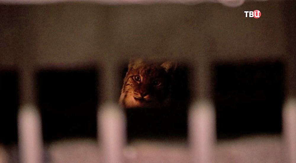 Рысь на балконе жилого дома