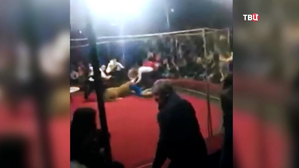 Нападение львицы на 4-летнюю девочку на Кубани