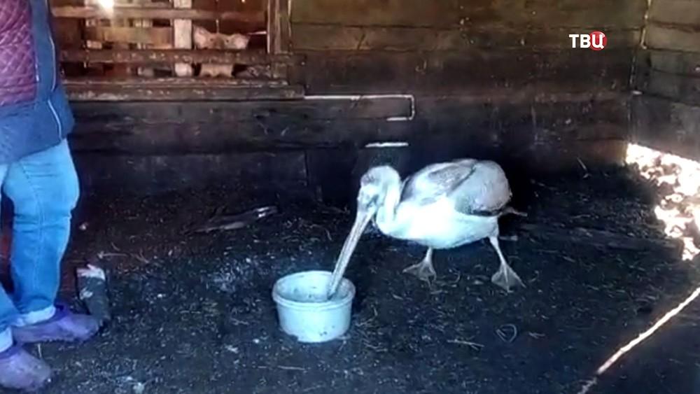 Люди выхаживают пеликана