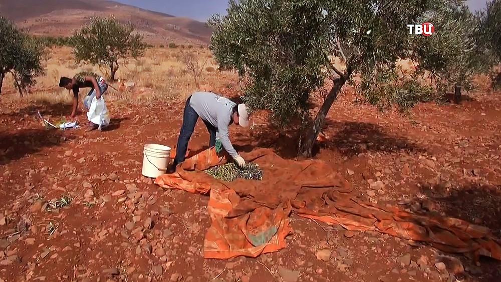 Оливковая ферма в Сирии