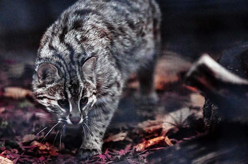 Самка амурского лесного кота