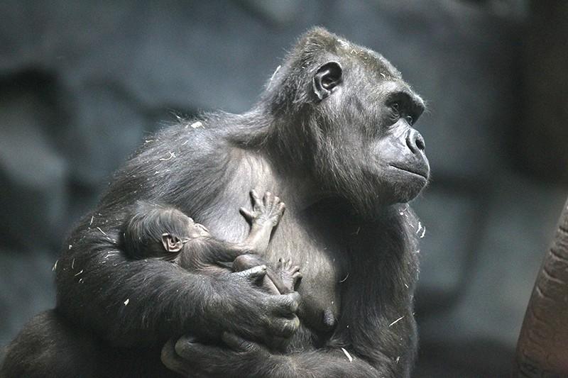 Самка гориллы с детенышем
