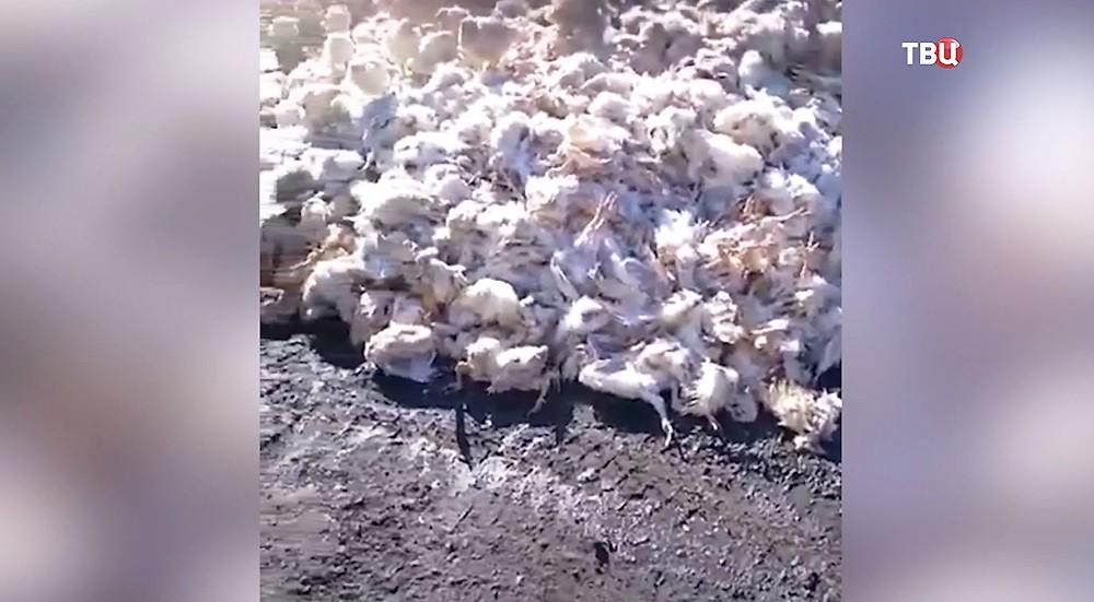 Тушки куриц на земле